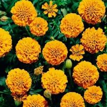 Бархатцы отклоненные махровые Бой Оранжевые - Семена Тут