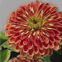 Цинния изящная Медно-розовая - Семена Тут