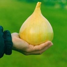 Лук репчатый Эксибишен - Семена Тут