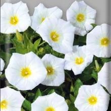 Вьюнок Белое знамя - Семена Тут