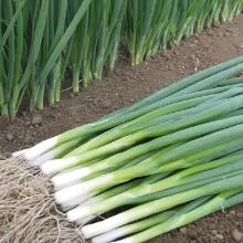 Лук на зелень Кайгаро - Семена Тут