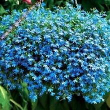 Лобелия плетистая Голубой фонтан - Семена Тут