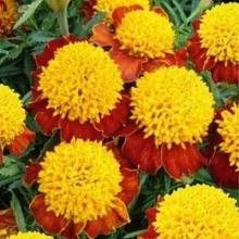 Бархатцы отклоненные махровые Желтая головка - Семена Тут