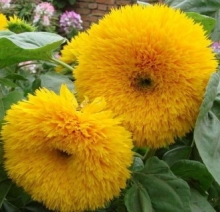 Подсолнечник однолетний Оранжевое солнце - Семена Тут
