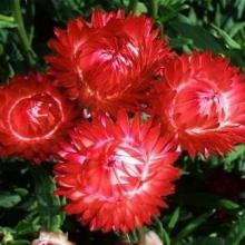Гелихризум Королевский размер красный - Семена Тут