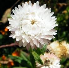 Гелихризум Королевский размер серебристо-белый - Семена Тут