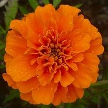 Бархатцы отклоненные махровые Петит оранжевые - Семена Тут