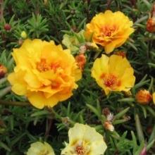 Портулак крупноцветковый Солнечная страна золотой - Семена Тут
