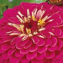 Цинния георгиноцветковая Волшебная роза - Семена Тут