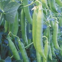 Горох овощной Веста - Семена Тут