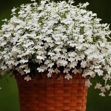 Лобелия плетистая Белый фонтан - Семена Тут
