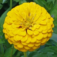 Цинния георгиноцветковая Супер йога еллоу - Семена Тут
