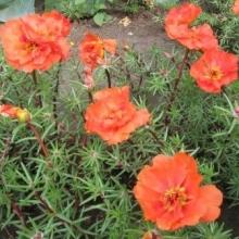 Портулак крупноцветковый Солнечная страна Пламя - Семена Тут
