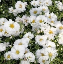 Портулак крупноцветковый Солнечная страна белый - Семена Тут