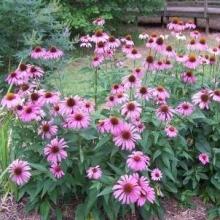 Рудбекия пурпурная Розовая - Семена Тут