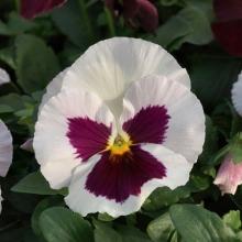 Виола крупноцветковая Динамит Вайт виз Роуз Блотч [1000 шт] - Семена Тут