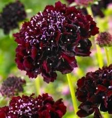 Скабиоза темно-пурпурная Бордовая - Семена Тут