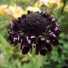 Скабиоза темно-пурпурная Вишнево-черная - Семена Тут