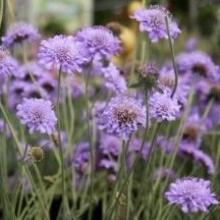 Скабиоза темно-пурпурная Лавандовая - Семена Тут