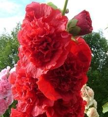 Шток-роза Алая - Семена Тут