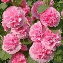 Шток-роза Розовая замша - Семена Тут
