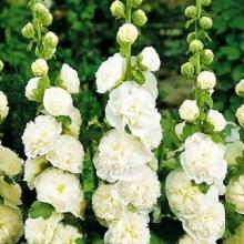 Шток-роза Белая - Семена Тут