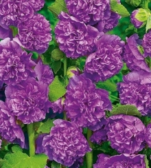 Шток-роза Виолет - Семена Тут