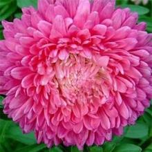 Астра пионовидная Розовая башня - Семена Тут