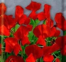 Крыжовник Консул (С2) (средний, темно-бордовый)