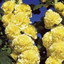 Шток-роза Желтая - Семена Тут