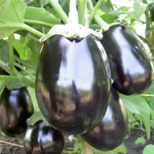 Баклажан Черный красавец - Семена Тут