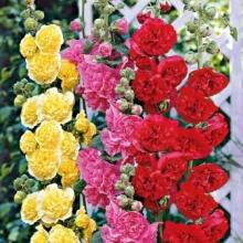 Шток-роза Смесь окрасок - Семена Тут