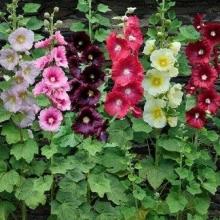 Шток-роза Индийская весна - Семена Тут