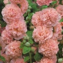 Шток-роза Лососево-розовая - Семена Тут