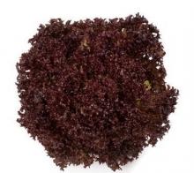 Гейхера гибридная Берри Смузи (С2) (лист розовый, позднее фиолетовый)