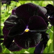 Анютины глазки Черный король - Семена Тут