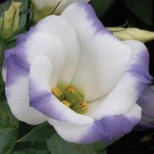 Азалия японская Хот Шот Варигата (С2 Н25-30) (цветки красные, махровые, лист с белой каймой)