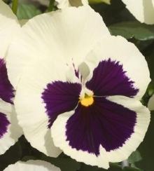 Виола крупноцветковая Динамит Вайт виз Блотч [100 шт] - Семена Тут