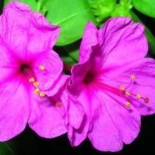 Мирабилис Розовый леденец - Семена Тут