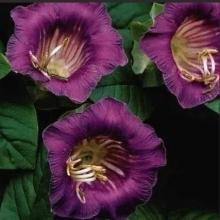 Кобея лазающая Фиолетовая - Семена Тут
