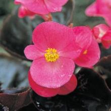 Бегония вечноцветущая бронзоволистная Гавана Роуз [1000 драже] - Семена Тут