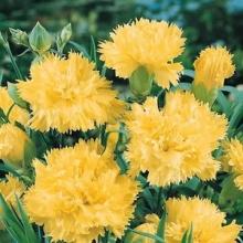 Гвоздика садовая Шабо Желтая - Семена Тут