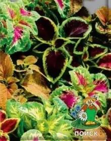 Колеус Блюме Смесь окрасок - Семена Тут