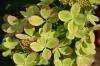 Гортензия метельчатая Пастель Грин (С3) (бел., крем., фисташ., лосос., роз., в конце цв. винные)
