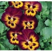 Виола крупноцветковая Динамит Вайн Флеш [1000 шт] - Семена Тут