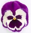 Рододендрон гибридный Хельсинский Университет (С5 H40-50) (цветки светло-розовые)