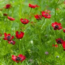 Адонис летний Красный - Семена Тут