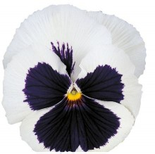 Виола крупноцветковая Премьер Айс крем виз блоч [1000 шт] - Семена Тут