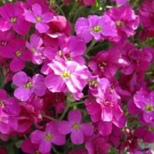 Аубреция Розовая - Семена Тут