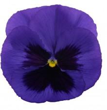 Виола крупноцветковая Премьер Блю виз Блоч [1000 шт] - Семена Тут